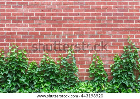 A red brick wall with English Ivy climbing up the bottom half.