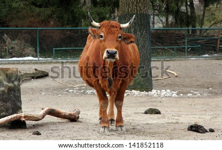 A red bull in a zoo - stock photo