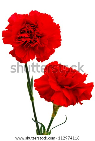 A red carnation blooming - stock photo