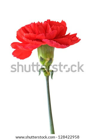a red carnation isolated on white background