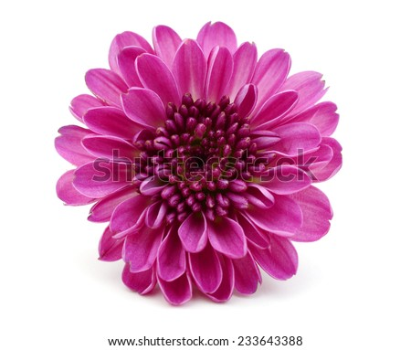 A red chrysanthemum flower - stock photo