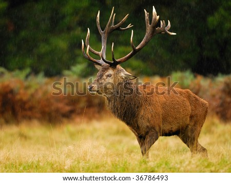 A Red Deer Stag stands alone in the rain