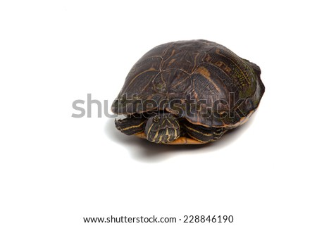 A red-eared slider isolated on a white background.