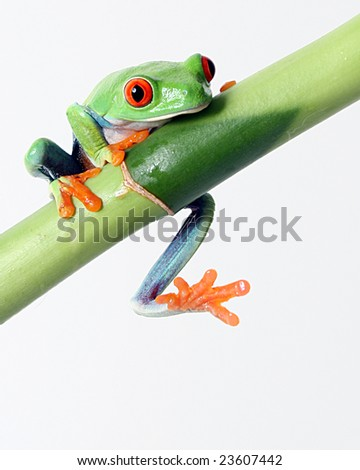 A red eyed tree frog slips off a bamboo shoot - stock photo
