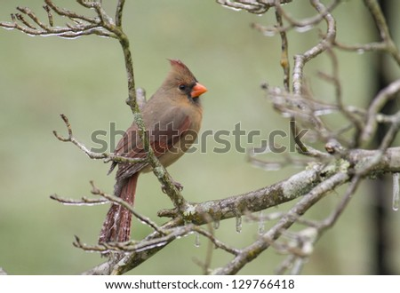 A red female Cardinal sits on a limb during an ice storm. - stock photo