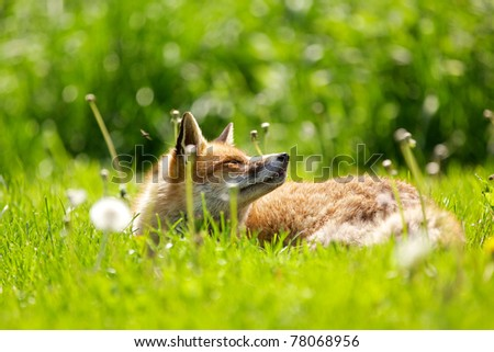 A red fox in the spring - stock photo