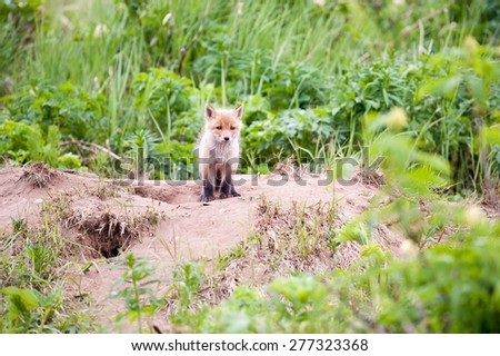 A red fox kit looks at photographer as he stands near the den opening