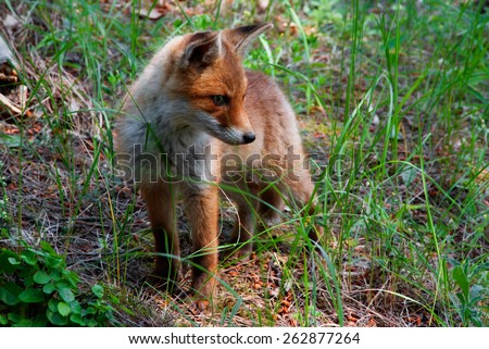 A red fox pup listening to something - stock photo