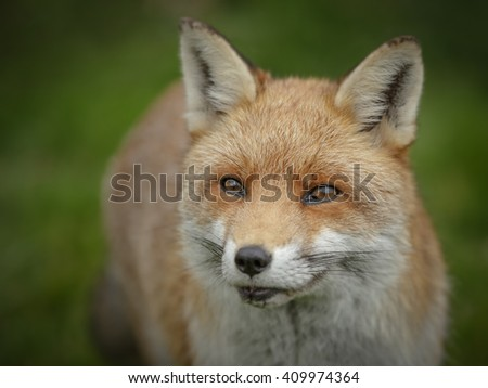 A red fox taken close to highlight the beautiful eyes - stock photo