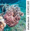 A red frogfish camouflaged on an underwater mooring block - stock photo