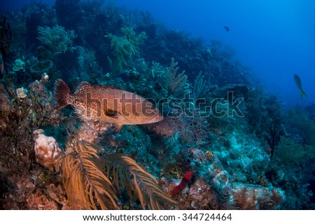 A red grouper swimming across the reef