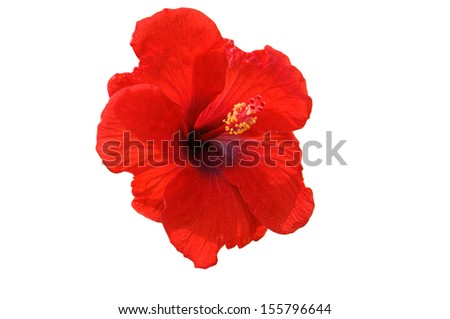 a red hibiscus flower isolated on white background - stock photo