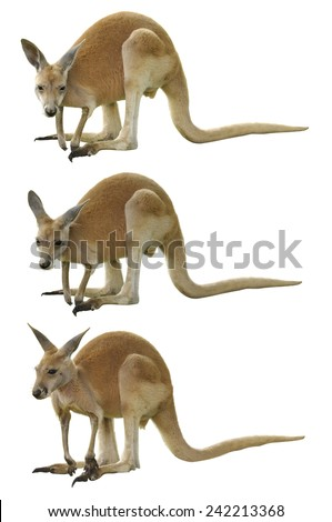 A Red Kangaroo Isolated on White - stock photo