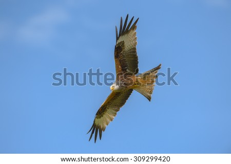 A Red Kite flying against a deep blue sky.