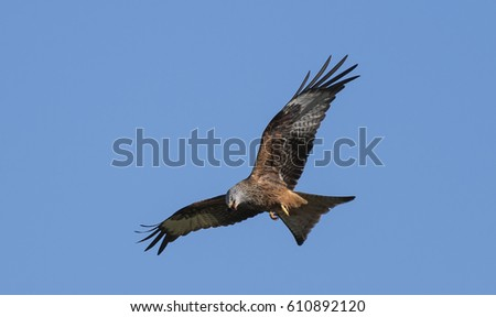 A Red Kite looking down for food