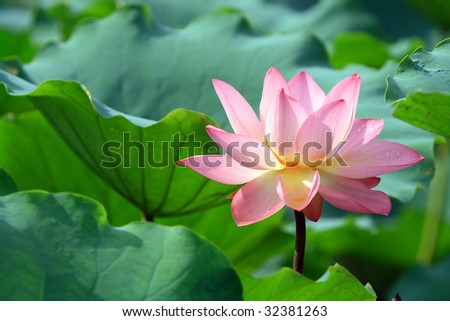 a red lotus flower in blossom
