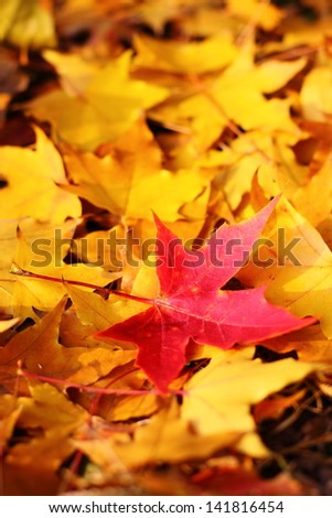 A red maple leaf in the middle of many of yellow - stock photo