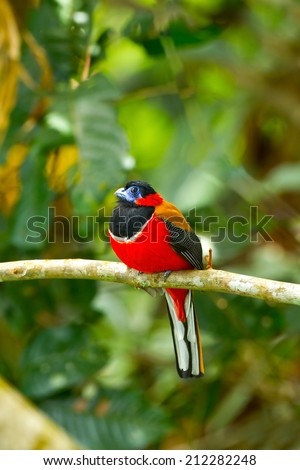 A Red-naped Trogon in a bout Kinabalu park,and Ha la ba la thailand ,Malaysia, - stock photo