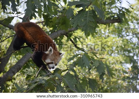 A Red Panda in Zoom Torino