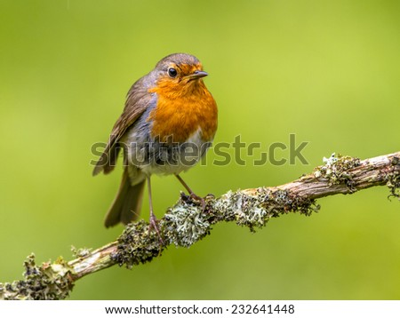 A red robin. A regular companion during gardening pursuits - stock photo