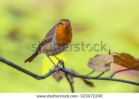 A red robin (Erithacus rubecula) on a branch with autumn colors background as a concept for fall