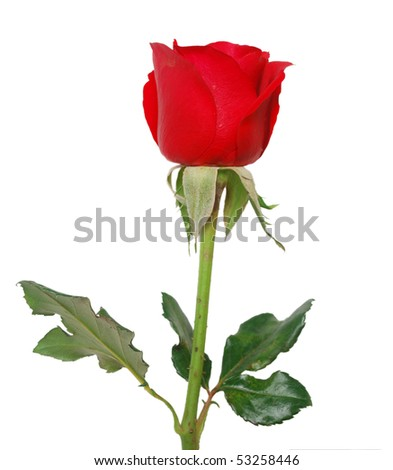A red rose branch isolated white