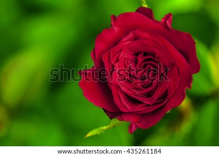 a red rose in fresh blossom with green branches and foliage