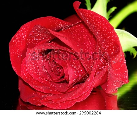 A red Rose isolated on black background. - stock photo