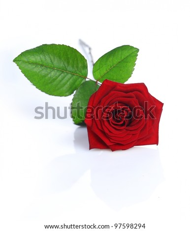 A Red Rose isolated on white background - stock photo