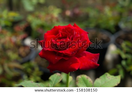 A red rose with its leaves - stock photo