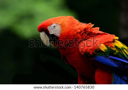 A red, scarlet macaw, showing its great detail as best portrait shot