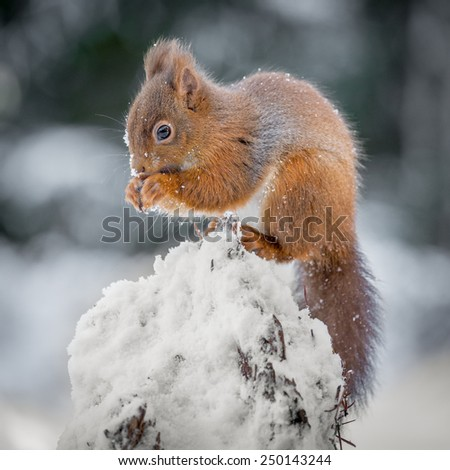 A Red Squirrel feeding in Winter - stock photo