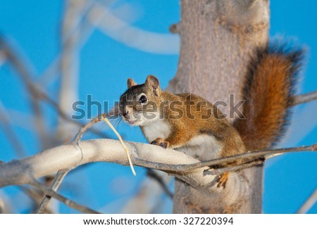 A Red Squirrel in a tree.  A fairly unusual sight in Medicine Hat, Alberta, Canada. - stock photo