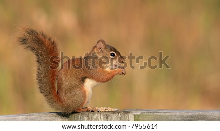 A red squirrel with sunflower seeds. Ontario, Canada.