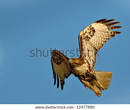 A Red Tail Hawk just taking off. - stock photo