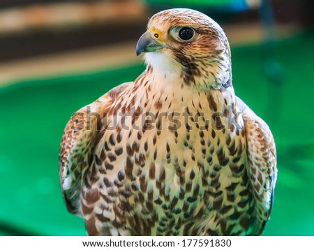 A Red-tailed hawk (Buteo jamaicensis)  - stock photo