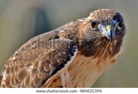 A Red-tailed Hawk (Buteo jamaicensis) in Arizona.