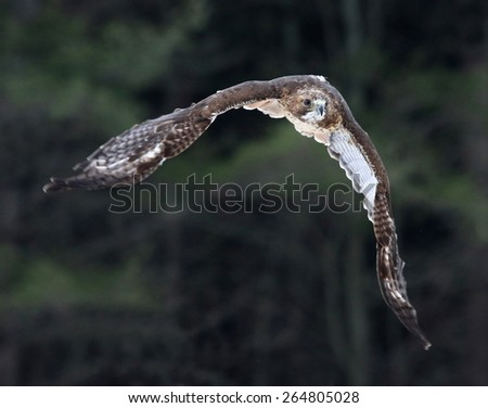 A Red-tailed hawk (Buteo jamaicensis) in mid-flight.
