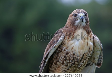 A Red-tailed hawk (Buteo jamaicensis) profile shot.  - stock photo