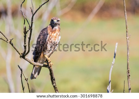 A Red-Tailed Hawk perches on a dead tree limb searching for prey, eventually spotting and pouncing on a vole in the tall grass beneath him. - stock photo