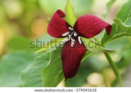 A Red Trillium (Trillium erectum) or Stinking Benjamin blooming in a woodlot in Ontario, Canada. - stock photo
