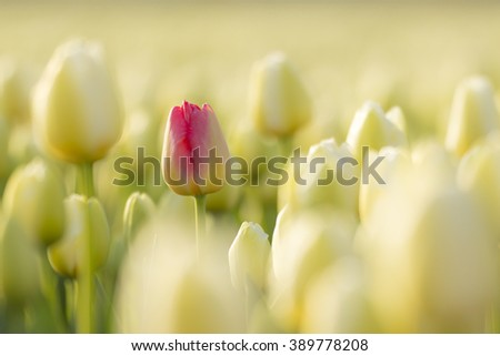 A red tulip lost in a flowerbed of white Dutch tulips in the Netherlands during Spring season. - stock photo