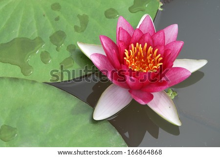 a red water lily blossom on water with green foliage