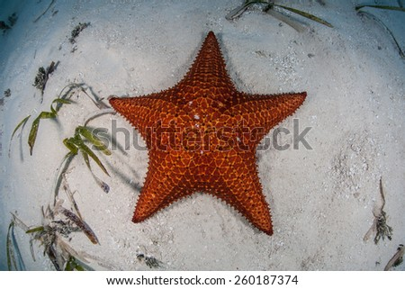 A red West Indian starfish (Oreaster reticulatus) lies on the shallow seafloor of Turneffe Atoll in Belize. This echinoderm is an omnivore and feeds on algae, sponges, and invertebrates. - stock photo
