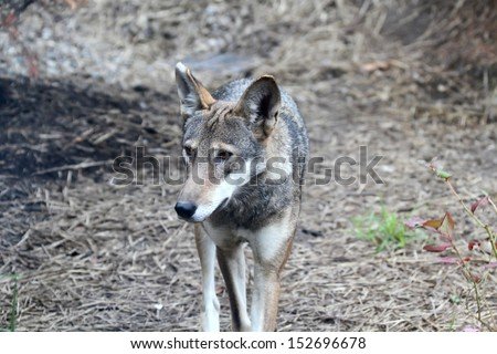 A Red Wolf walking towards the camera, looking to it's right
