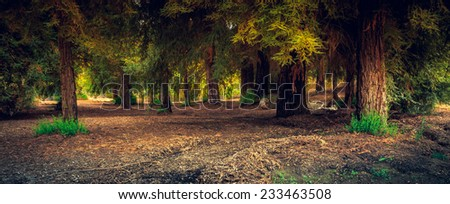 A Redwood Forest, California - stock photo