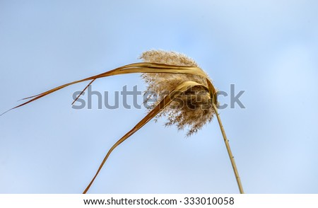 A reed on a background of the blue sky in the Delta of the Volga River, Russia - stock photo
