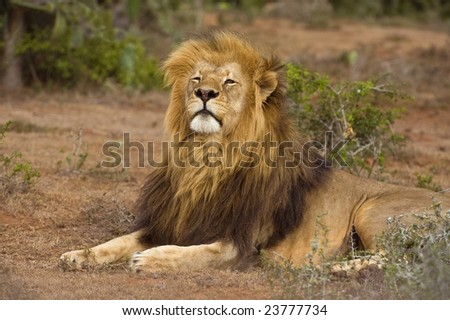 A regal Lion looks down his nose - stock photo