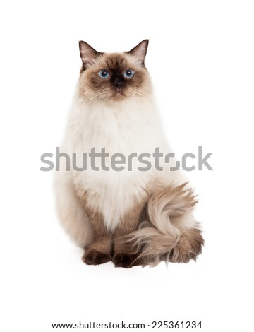 A regal looking Ragdoll Cat sitting and looking into the camera. - stock photo