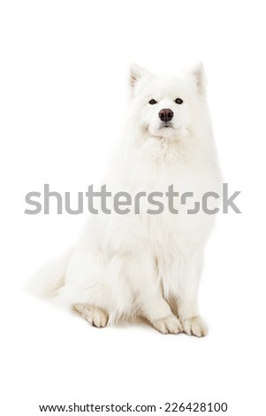 A regal looking Samoyed Dog sitting at an angle while looking into the camera.